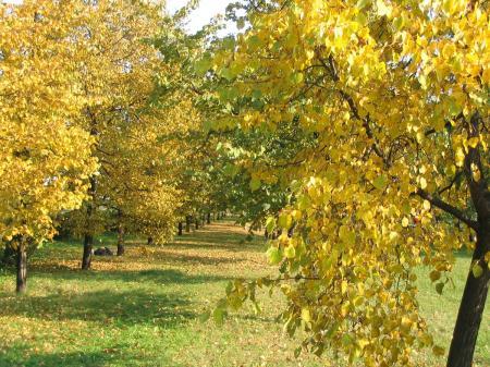 осина дерево фото